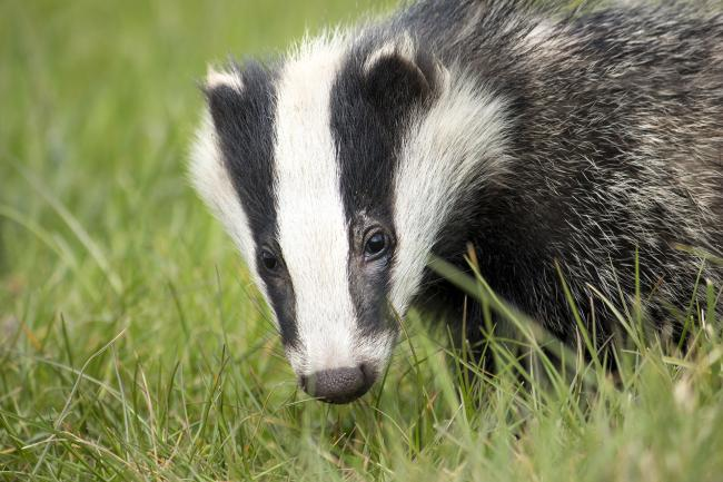 Badgers have been found at the site.