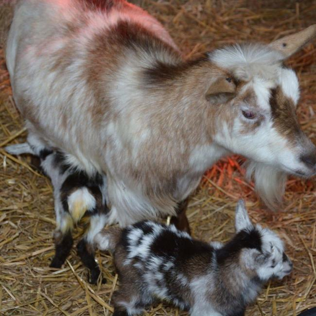 Gladys' pen-mate Tiffany, who gave birth to two kids named Cookie and Pickles over the weekend.