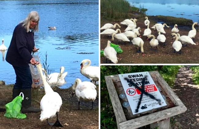 Letter: Why are people so spiteful over our Freshwater swans?
